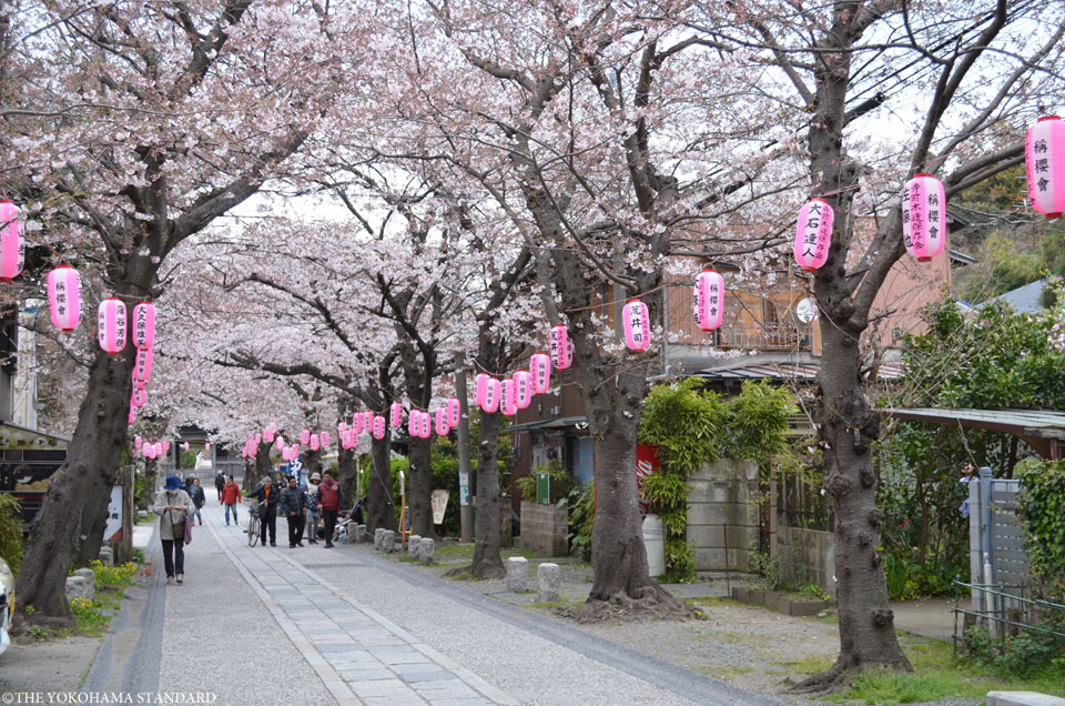 2017称名寺の桜2-THE YOKOHAMA STANDARD