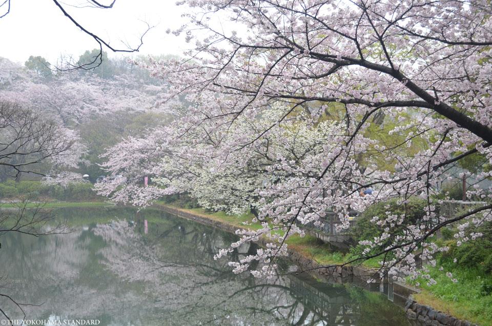 2017三ツ池公園の桜11-THE YOKOHAMA STANDARD
