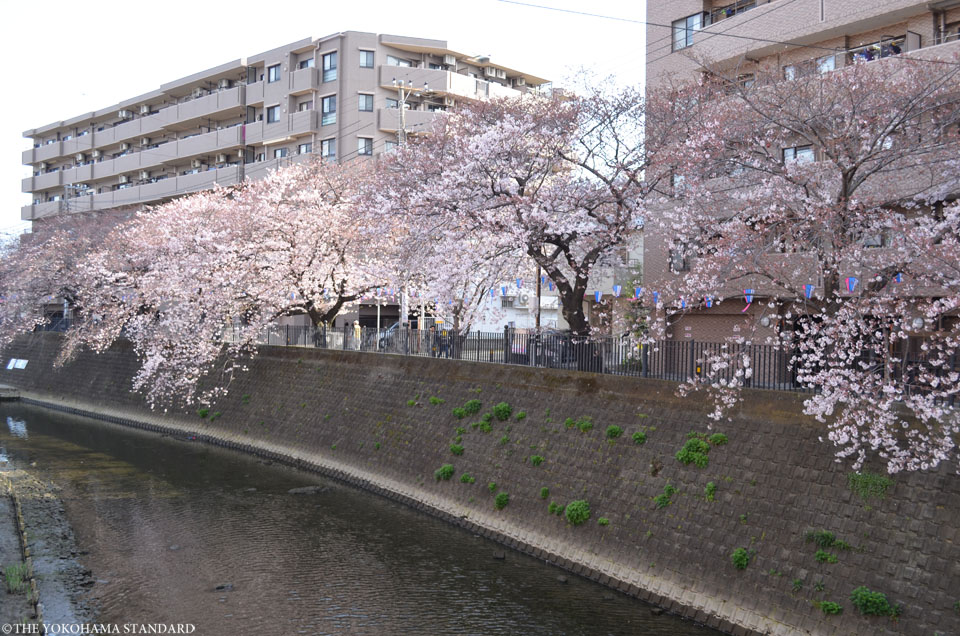 2017大岡川の桜1-THE YOKOHAMA STANDARD