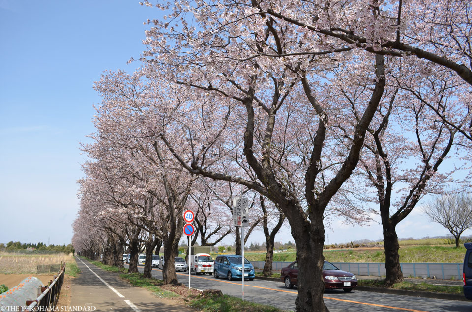 2017海軍道路の桜4-THE YOKOHAMA STANDARD