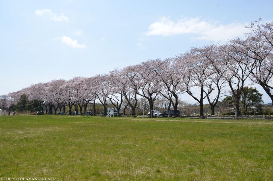 2017海軍道路の桜7-THE YOKOHAMA STANDARD