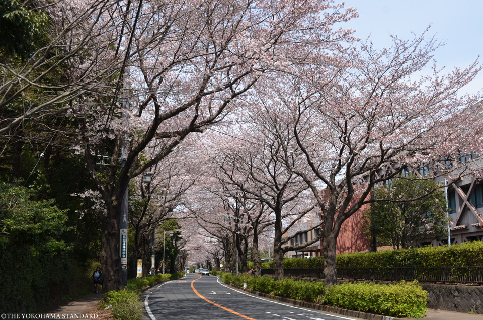 2017野境道路の桜5-THE YOKOHAMA STANDARD