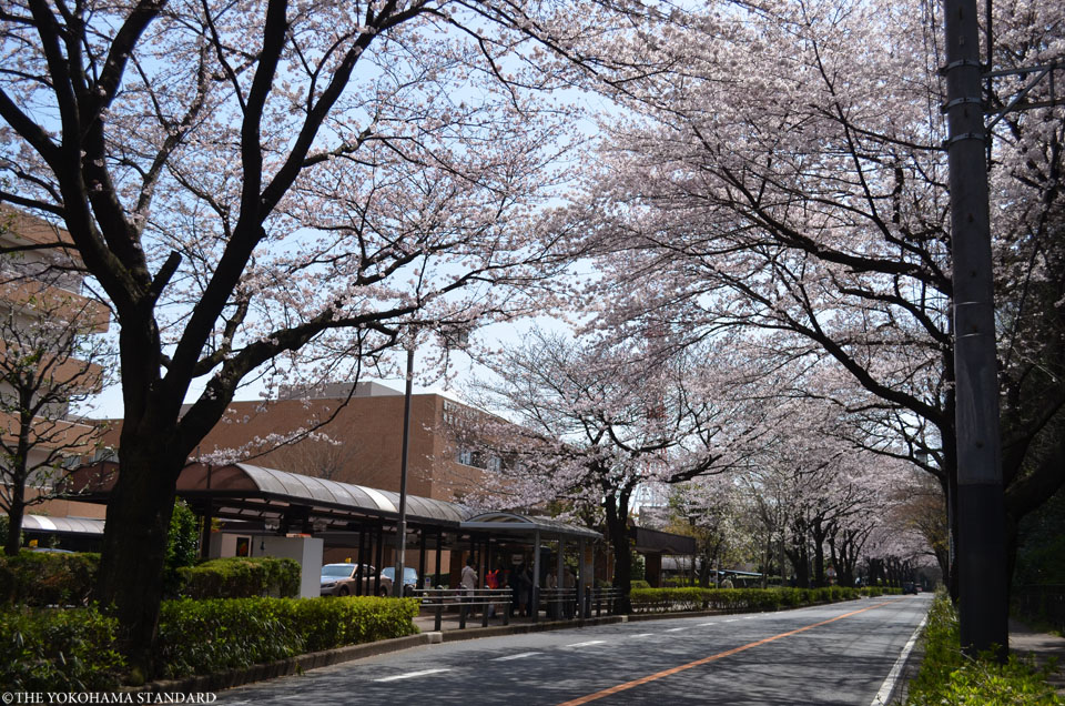 2017野境道路の桜6-THE YOKOHAMA STANDARD