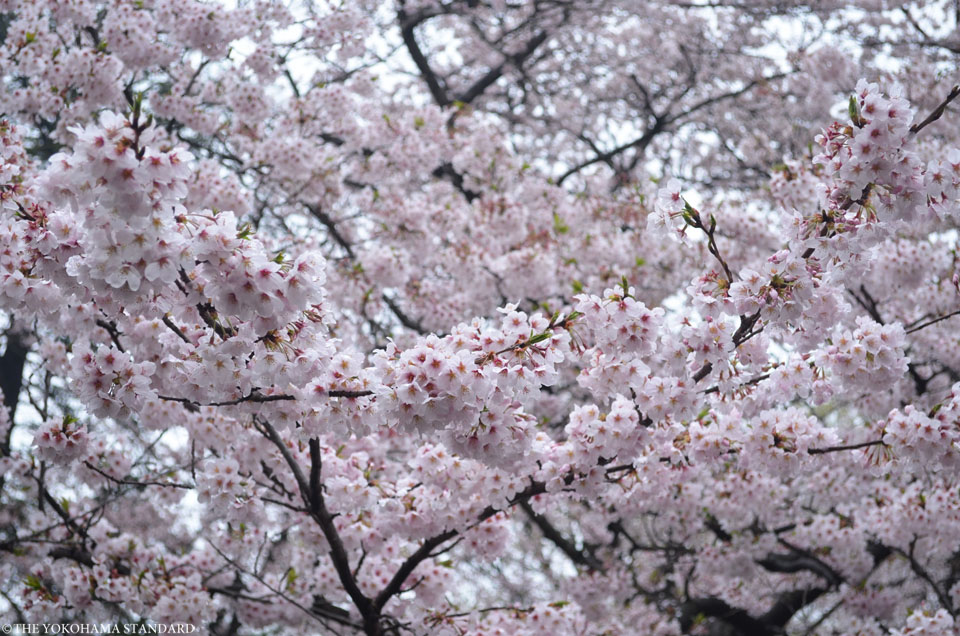 2017三ツ池公園の桜14-THE YOKOHAMA STANDARD