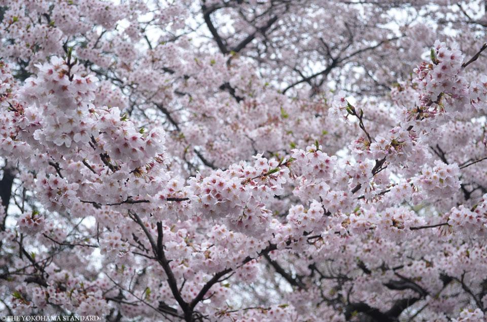 2017三ツ池公園の桜14-THE YOKOHAMA STANDARD