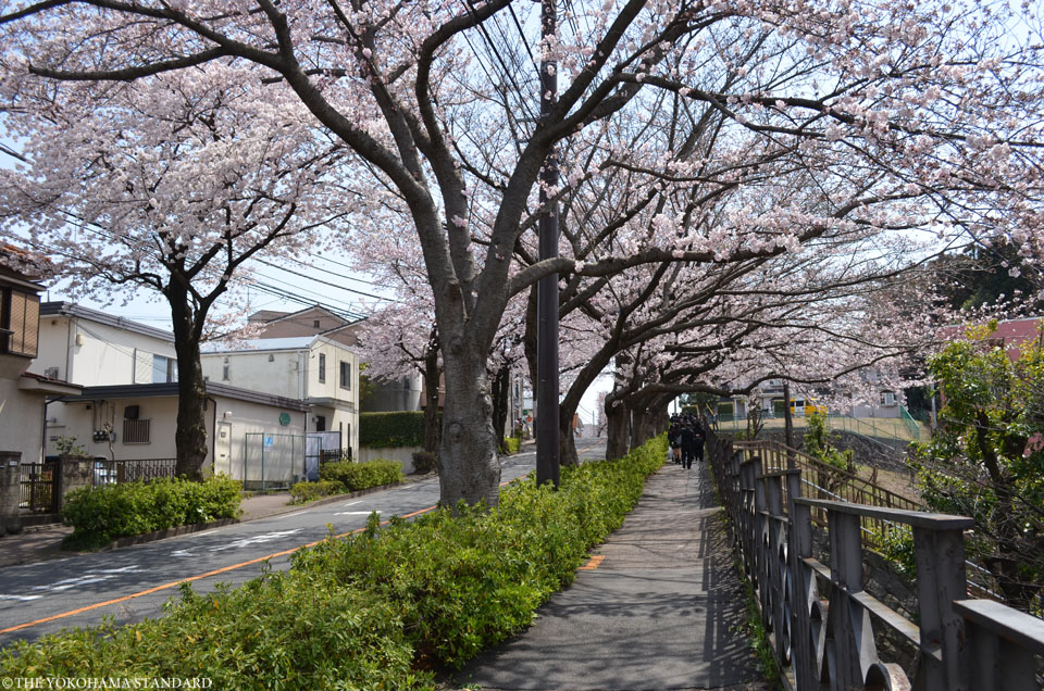 2017野境道路の桜4-THE YOKOHAMA STANDARD