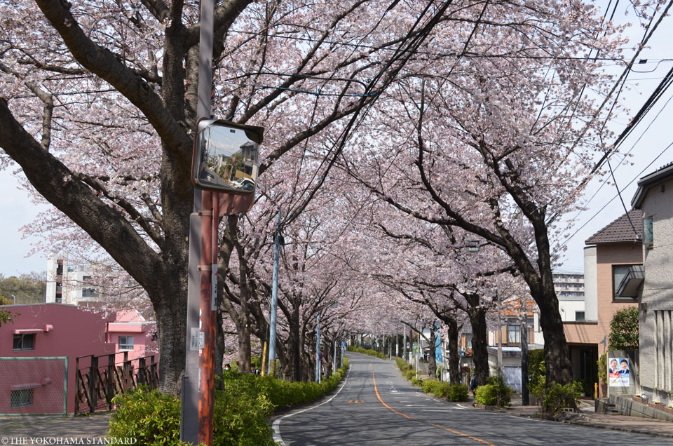 2017野境道路の桜1-THE YOKOHAMA STANDARD