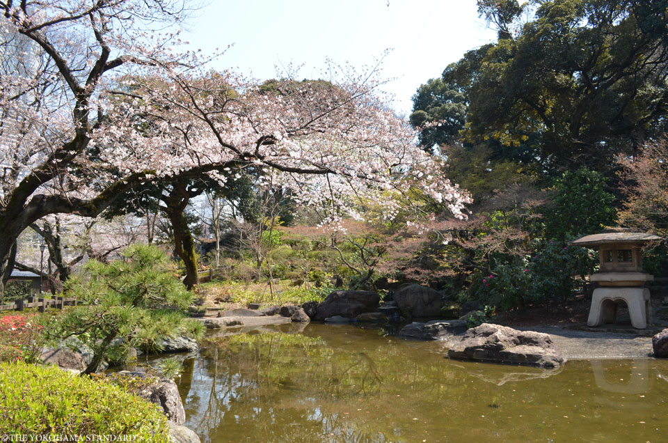 2017掃部山公園の桜7-THE YOKOHAMA STANDARD