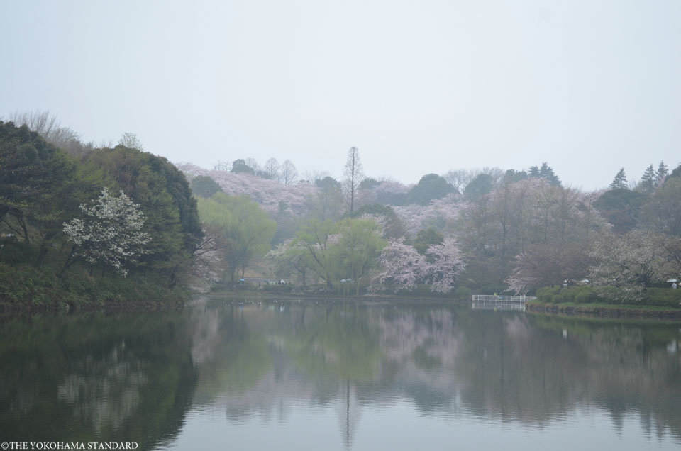 2017三ツ池公園の桜8-THE YOKOHAMA STANDARD