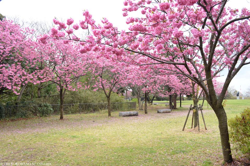 2017本牧山頂公園の桜2-THE YOKOHAMA STANDARD