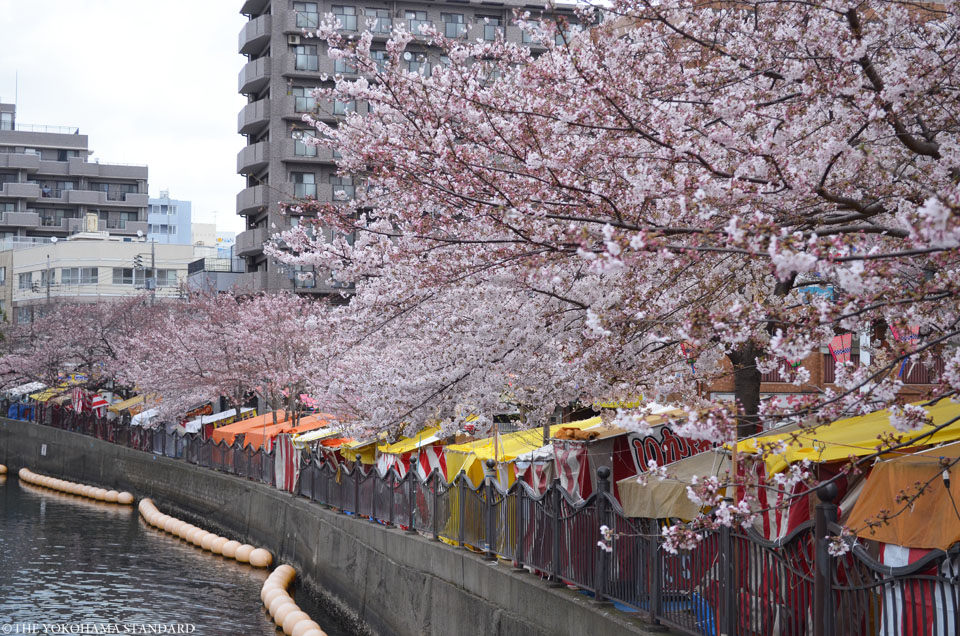 2017大岡川の桜17-THE YOKOHAMA STANDARD