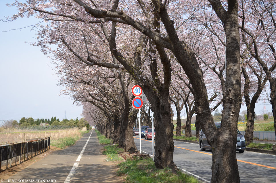 2017海軍道路の桜3-THE YOKOHAMA STANDARD