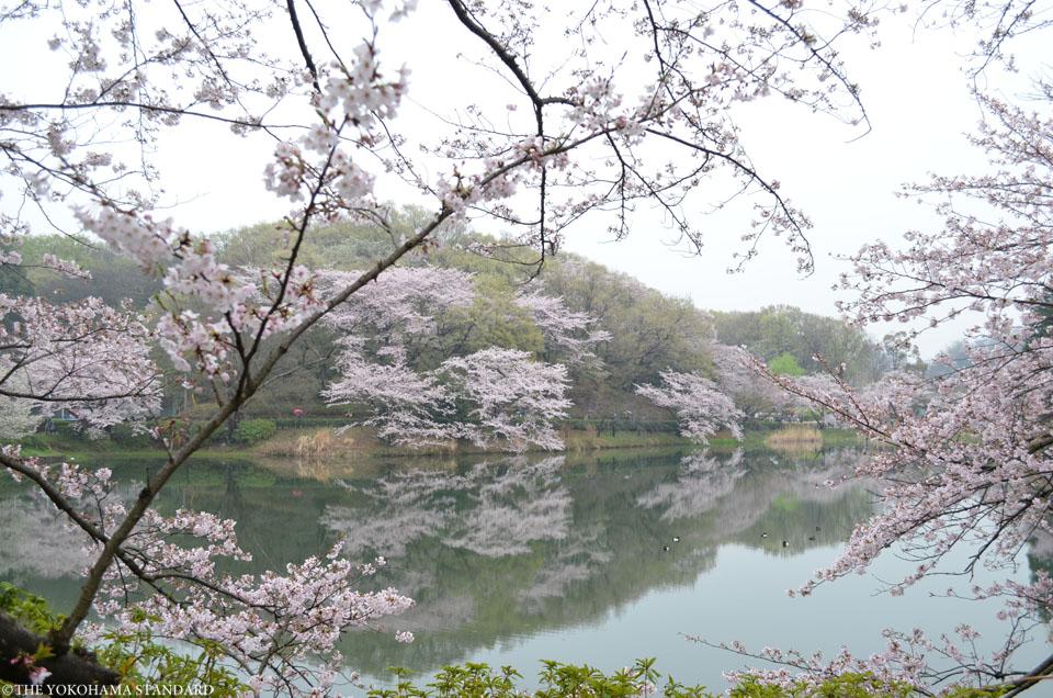 2017三ツ池公園の桜3-THE YOKOHAMA STANDARD